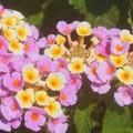 Photos: 9月に咲く@ランタナの花
