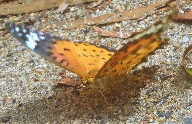 秋の散歩道のツマグロヒョウモン(♀)
