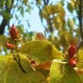 Photos: ハナミズキにも秋の風