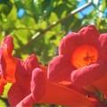 秋の ノウゼンカズラ の赤い花