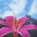 青い空に ゼフィランサス の花