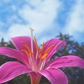 Photos: 青い空に ゼフィランサス の花