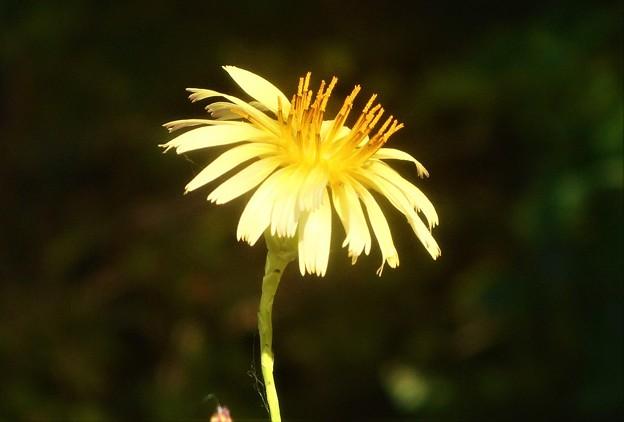 黄色い野の花@タンポポ系