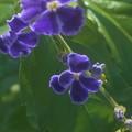 秋に咲くデュランタの花