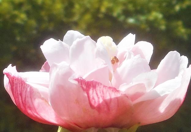 秋に咲く@八重のムクゲ