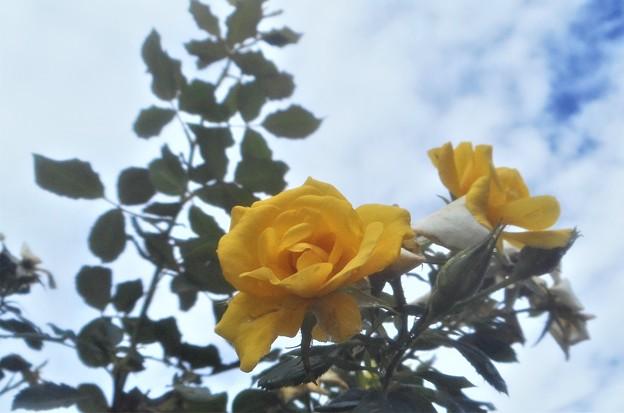 黄色い薔薇@秋雨前線