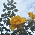 Photos: 黄色い薔薇@秋雨前線