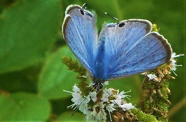 ウラナミシジミの表翅@ミントの花