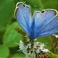 Photos: ウラナミシジミの表翅@ミントの花