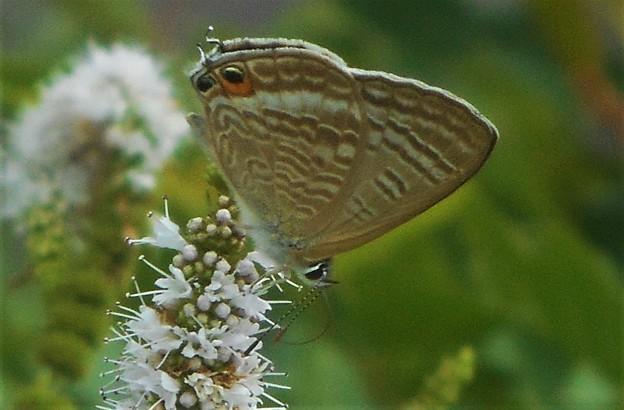 ミントの花にウラナミシジミ