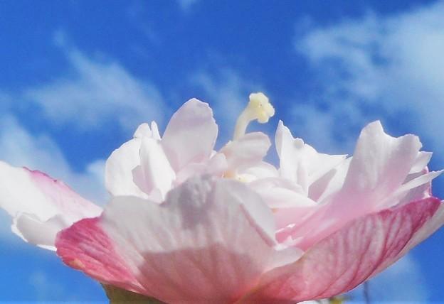 八重咲きの木槿(ムクゲ)の花