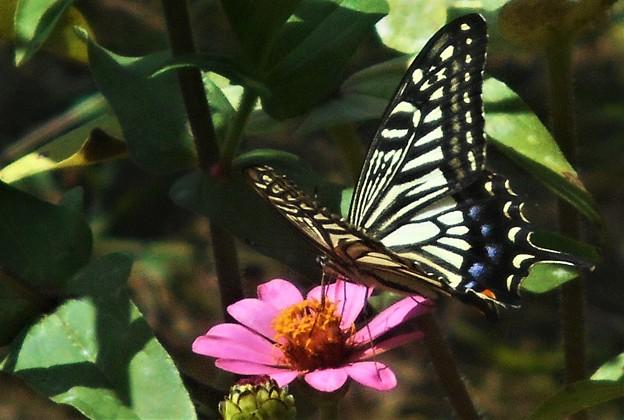 秋のジニア畑の揚羽蝶@ナミアゲハ