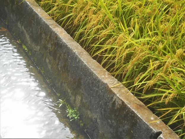 きらめく水面と黄金色の稲穂