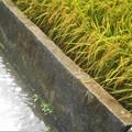 Photos: きらめく水面と黄金色の稲穂