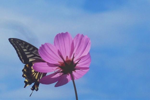 青空に秋桜と揚羽蝶