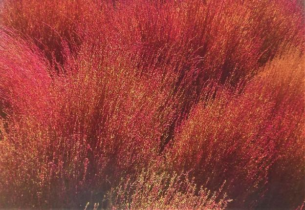 紅葉する10月のコキア(ホウキギ)