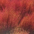 Photos: 紅葉する10月のコキア(ホウキギ)