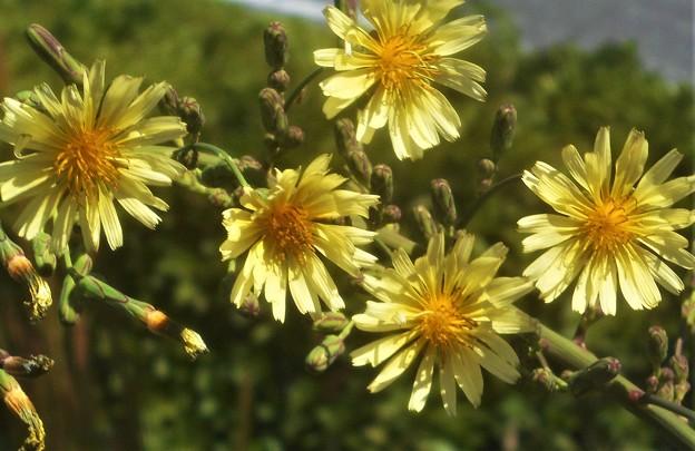 散歩道に咲く アキノノゲシ