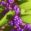 秋の実@コムラサキの紫色の実