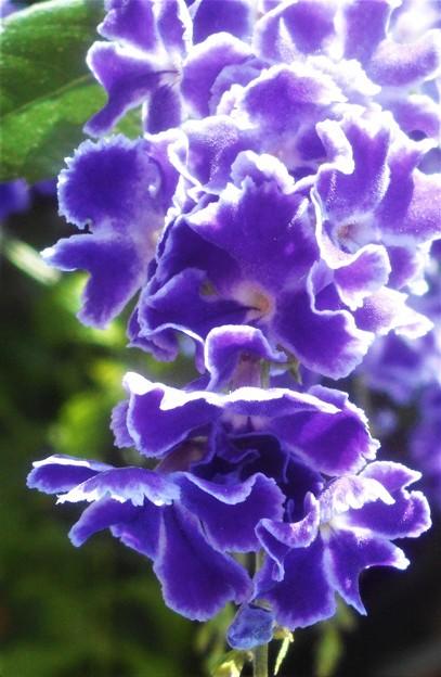 10月に咲く デュランタの花