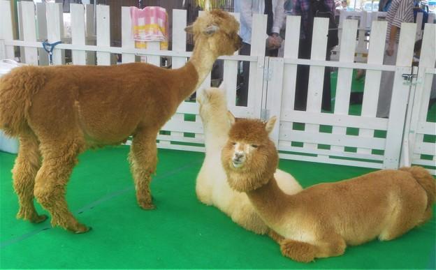 近所のイベントにやってきた動物たち(ラクダ系)