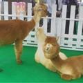Photos: 近所のイベントにやってきた動物たち(ラクダ系)