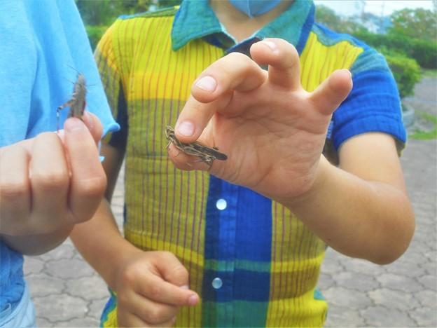 小学生は昆虫が大好き@トノサマバッタ