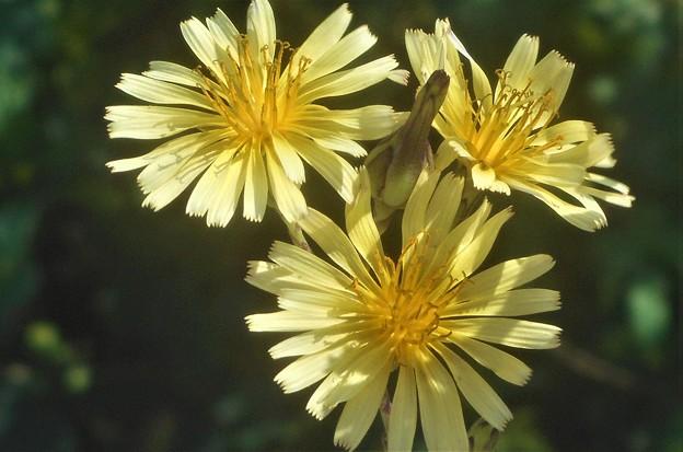 野に咲く花 アキノノゲシ