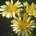 Photos: 野に咲く花 アキノノゲシ