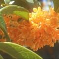 10月の甘い香り@金木犀の花