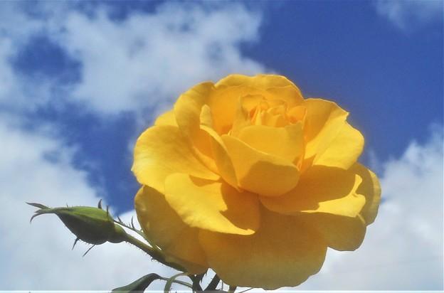 朝の薔薇(イエロー)と秋の空