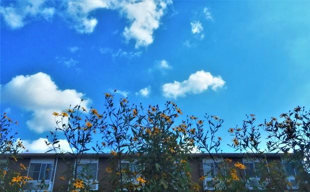 畑のノッポな黄色い花(キクイモ)と秋の空
