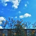 Photos: 畑のノッポな黄色い花(キクイモ)と秋の空