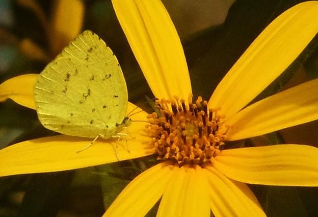キクイモの花と蝶@キチョウ
