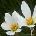 秋の白い花@タマスダレ