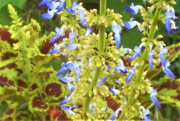 コリウスの青い花