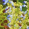 Photos: コリウスの青い花