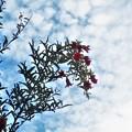 Photos: 柘榴の花と実と秋の空