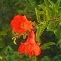 秋の柘榴の赤い花