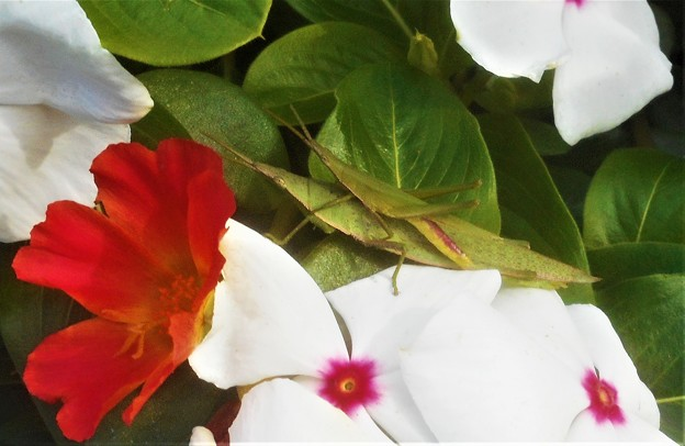 花園にて オンブバッタ(ショウリョウバッタ)を発見