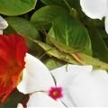 Photos: 花園にて オンブバッタ(ショウリョウバッタ)を発見