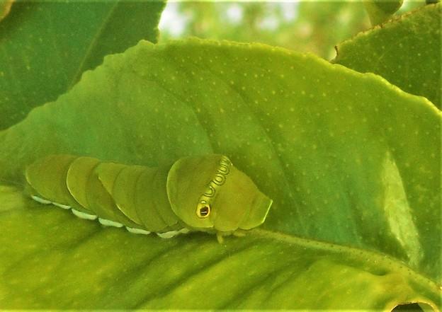 青虫はミカンの葉が大好き@アゲハ蝶