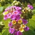 秋のランタナの花と実