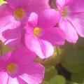 オキザリス(ピンク)