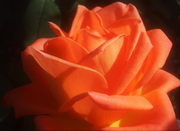 野に咲く薔薇