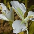 秋に咲く ジンジャー(生姜)の花