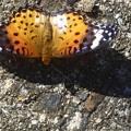 秋のツマグロヒョウモン(♀)@産卵の季節@散歩道にて