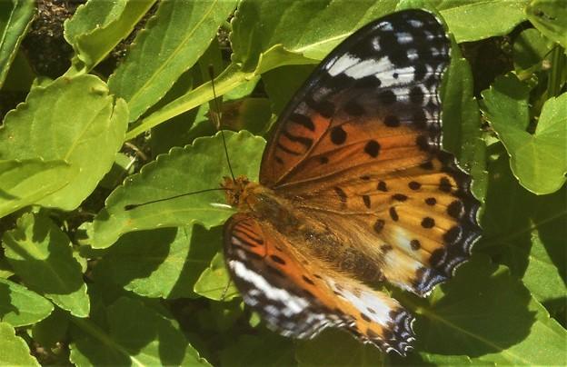 産卵場所を探すツマグロヒョウモン(♀)