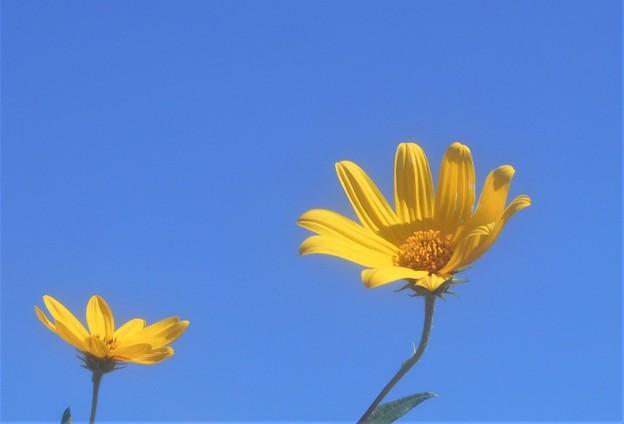 秋の空に キクイモの花