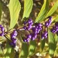 紫色の秋の実@コムラサキ